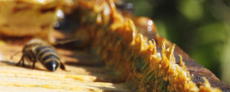 Propolis – Die stärkste Waffe des Biens