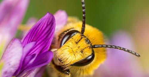 Wildbienensterben bedroht Ernteerträge in USA und Kanada